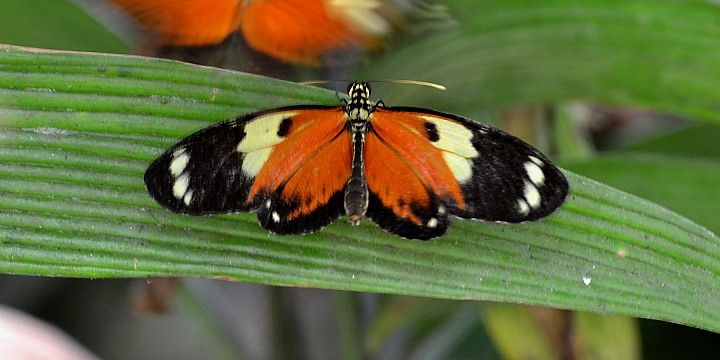 heliconius ismenius metaphorus