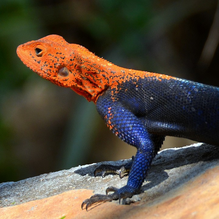 agama finchi leucerythrolaema / agama malabská ''leucerythrolaema''